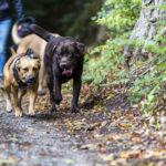 Labrador et chien croisé en forêt