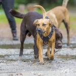 Labrador chocolat et congénères lors d'une balade canine