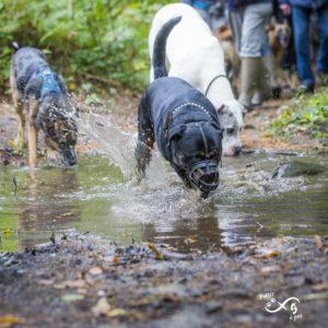 Rottweiler, dogue allemand et autres congénères profitant de l'eau