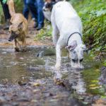 Dogue allemand buvant de l'eau