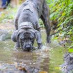 Cane Corso buvant lors d'une balade canine en forêt