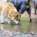 Akita, Rottweiler et labrador chocolat