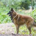 Berger en forêt lors d'une balade canine