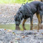 Rottweiler qui boit dans une flaque