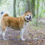 Akita lors d'une balade canine en forêt