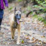 Malinois lors d'une balade canine animal behaviour