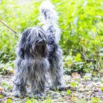Shih Tzu en balade canine