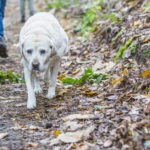 Labrador marchant tranquillement