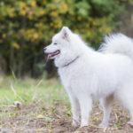 Samoyede heureux de sa promenade