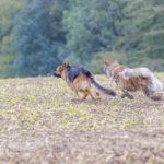 Interaction entre un berger allemand et un akita Inu