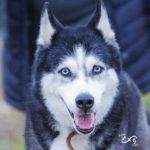 Husky attentif au photographe