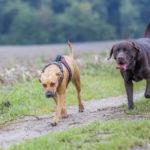 Labrador chocolat et son congénère en pleine balade