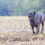 Cane corso qui se défoule dans les champs