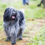 Shi Tzu en promenade canine