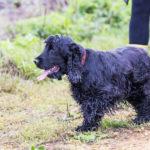 Cocker noir lors de la promenade canine animal behaviour
