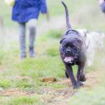 Cane corso courant dans les chemins de campagne