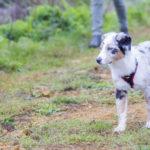 Jeune berger australien à la campagne