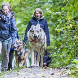 Chien loup tchèque en forêt