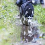 Husky qui boit de l'eau