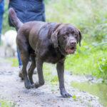 Labrador chocolat marchant dans les chemins de campagne