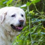 Labrador crème dans la forêt