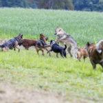 Plusieurs chiens en interaction dans les champs