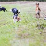 Beagle et jack russel reniflant les odeurs des champs