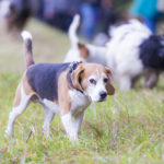 Beagle dans une prairie