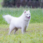 Samoyède lors de la balade canine en liberté