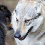 Chien loup tchèque lors de la promenade canine animal behaviour