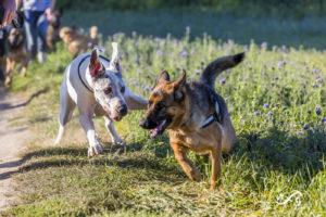 Dogue Allemand et Berger Allemand jouent ensemble