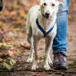 Petit chien en promenade canine